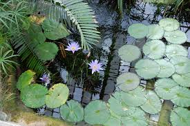 uk native pond plants garden design garden design with native british pond plants for