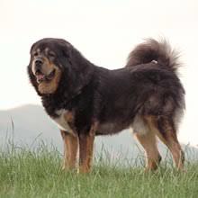 belgian sheepdog puppies for sale tibetan mastiff puppies for sale