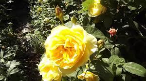 rose graham thomas ausmas david austin climbing rose youtube
