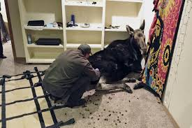 moose rescued after fall into idaho basement