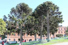 Pinecone Man Hit By 16 Pound Pine Cone In S F Park Files 5 Million Suit