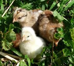 Backyard Chicken Blog by March 2010 Readable Blog