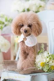 haircutsfordogs poodlemix japanese poodle fashion poodles too pinterest poodle
