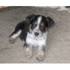 south texas australian shepherd rescue j a t texas heelers australian shepherd dog breeder in caldwell