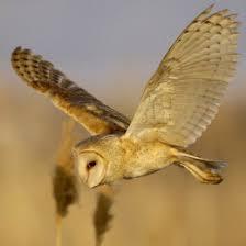 Barn Owl Sounds Barn Owl Biology Natural History Barn Owl Box Company