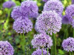 the large purple flowers of ornamental garlic stock photo picture