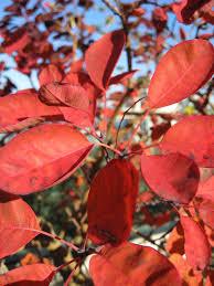 true colors 9 best shrubs for fall foliage gardenista