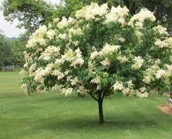 syringa reticulata jpg summer bloomers pinterest syringa