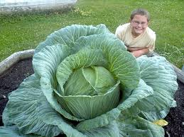 how to grow a gigantic cabbage bonnie plants