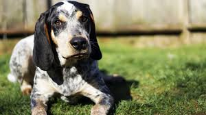 videos of bluetick coonhounds meet the breed bluetick coonhound