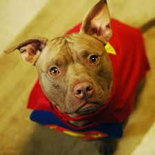 Pitbull Dog Halloween Costumes 18 Instagram Pups Ready Trick Treat