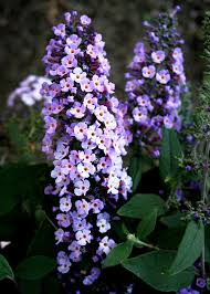 purple lilac how to care for butterfly bushes hgtv