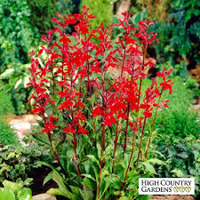 cardinal flower lobelia cardinalis seeds cardinal flower seeds low water