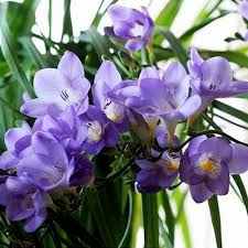 Fragrant Plants For Pots - aliexpress com buy marseed 100 pcs freesias plant pot rare