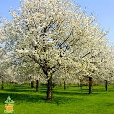 cleveland pear trees for sale the planting tree