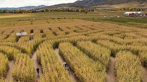 Denver Botanic Gardens Corn Maze Masked Attacks Inside Denver Corn Maze Abc News