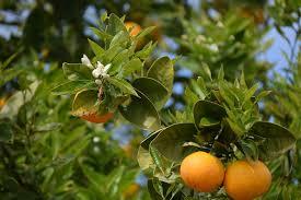 free photo orange trees oranges free image on pixabay 2332152
