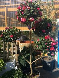 Bunny Topiary Frame Camellia Topiary Designascapes Favourite Plants Landscape Design