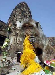 thai thanksgiving for primates monkey buffet festival