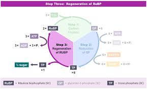 Where Do The Light Independent Reactions Occur Light Independent Reactions Bioninja