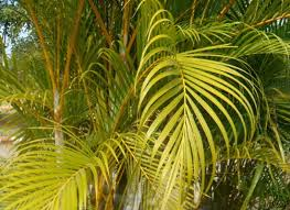 yellow palm health benefits planting and growing yellow palm
