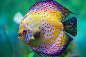 Cool Looking - cool looking freshwater aquarium fish aquarium fish
