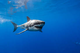 happy great white shark u2014 by george t probst