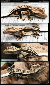 Halloween Crested Gecko Morph by 111 Best Reptiles U003c3 Images On Pinterest Reptiles Geckos And