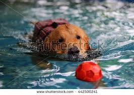 golden ball red retriever stock images royalty free images