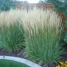 karl foerster feather reed grass garden org