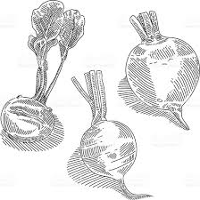 best free root vegetables drawing vector photos