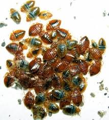 What Do Bed Bugs Eat What Do Bed Bugs Look Like Bed Bug Treatment Site