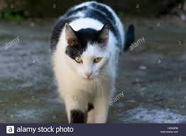 white and black domestic cat walking in the backyard stock photo