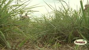 planting native grasses native grasses good for cattle forage and wildlife farmweek
