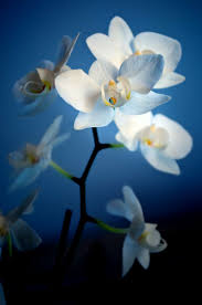 native hawaiian plants for sale best 25 orchid plants for sale ideas on pinterest weird plants