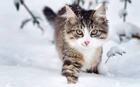 cats snow cat winter feline free background cats for hd 16 9