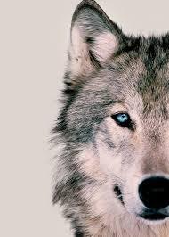 imagenes de fondo de pantalla lobos no te quito ojo totems pinterest lobos animales y animales