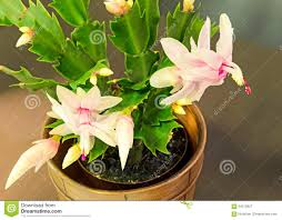 white thanksgiving pink white schlumbergera christmas cactus or thanksgiving cactus