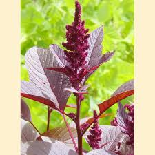 hopi dye amaranth sow true seed open pollinated seed