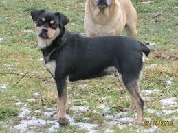 pug x boxer dog carlin pinscher miniature pinscher pug mix info puppies pictures