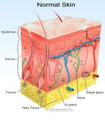 Lab Practical Anatomy And Physiology Lab Practical Integumentary Summary