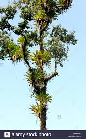 5 Dominant Plants In The Tropical Rainforest Rainforest Tree Tropical Epiphytes Stock Photos U0026 Rainforest Tree