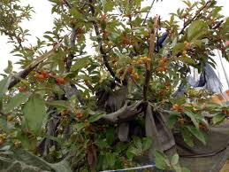 edible fruits edible fruits picture of sangaygang thimphu tripadvisor