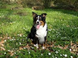 australian shepherd your purebred puppy are australian shepherds good family dogs canna pet