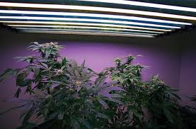 Fluorescent Light For Plants Electric Sunshine Part 2 Lamps For Marijuana Grow High Times