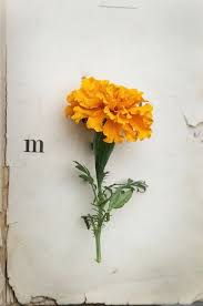 Flower Of The Month Marigold In October Birth Flower Of The Month U2014 Future King And