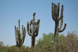 arizona native plants is it a saguaro or sequoia cactus