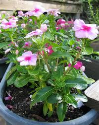 Vinca Flowers Thursday Plant Profile Vinca Cosmos And Cleome