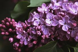 Lilac Flower by Growing The Common Lilac In The Home Garden