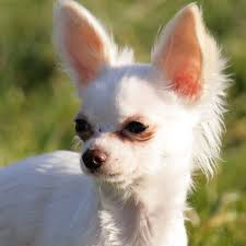 growth of chihuahua puppies pets